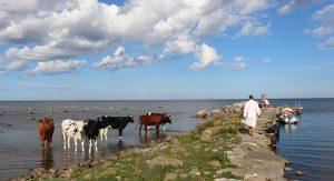 Kor vid Ölandsbad.