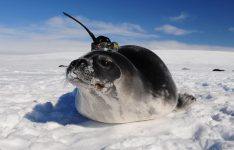 A Weddell seal collects data in the ocean while swimming